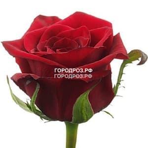 Красные розы_Россия 20 шт