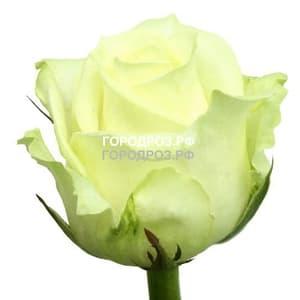 Белые розы поштучно
