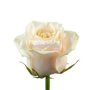 Нежно-розовые розы_Россия 20 шт
