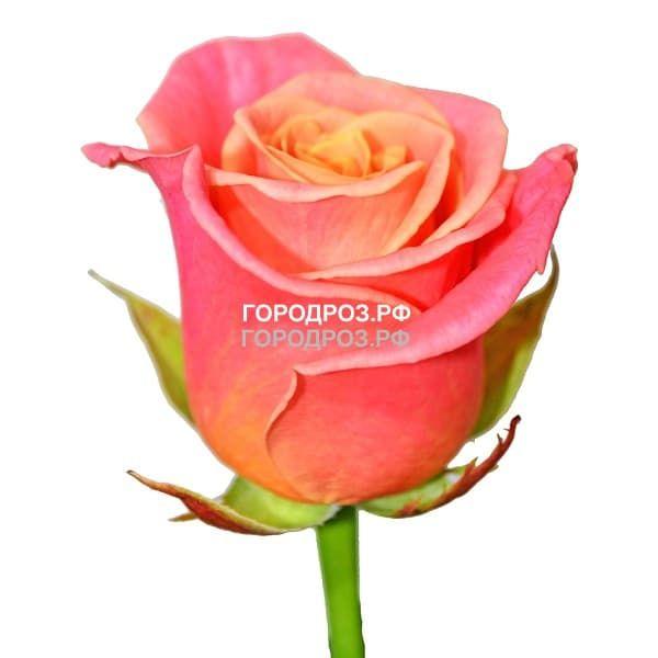 Персиковые розы поштучно