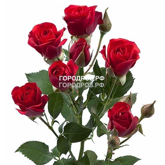 Красные Кустовые розы поштучно