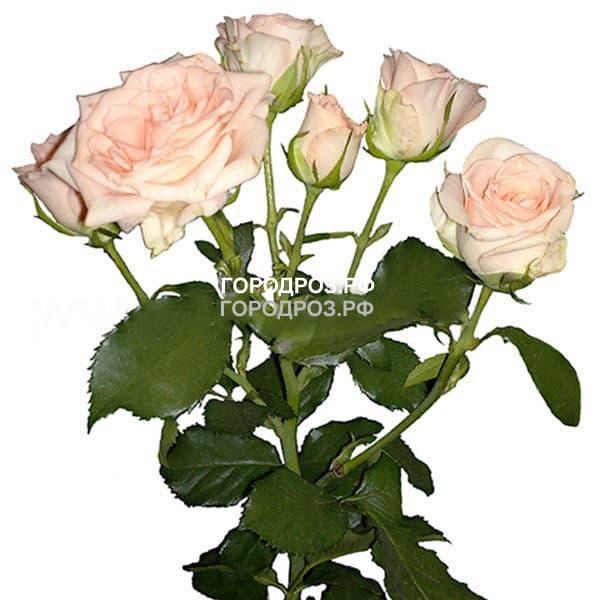 Нежно-розовые Кустовые розы поштучно