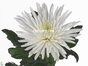 Белые хризантемы поштучно
