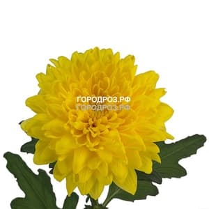 Желтые хризантемы поштучно
