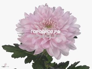 Розовые хризантемы поштучно