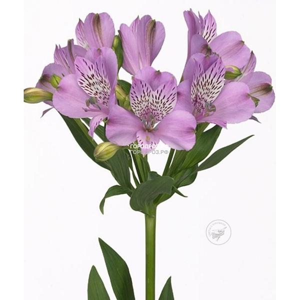 Фиолетовые Альстромерии поштучно
