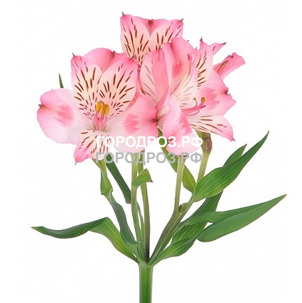 Розовые Альстромерии поштучно