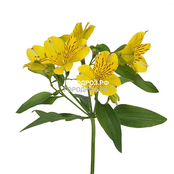 Желтые Альстромерии поштучно