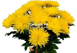 Букет из 19 желтых одноголовых хризантем