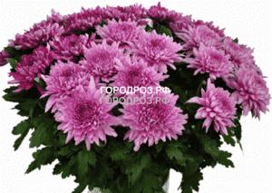 Букет из 35 розовых одноголовых хризантем